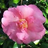 Camellia 'Mary Phoebe Taylor' - Find Azleas,Camellias,Hydrangea and Rhododendrons at Loder Plants
